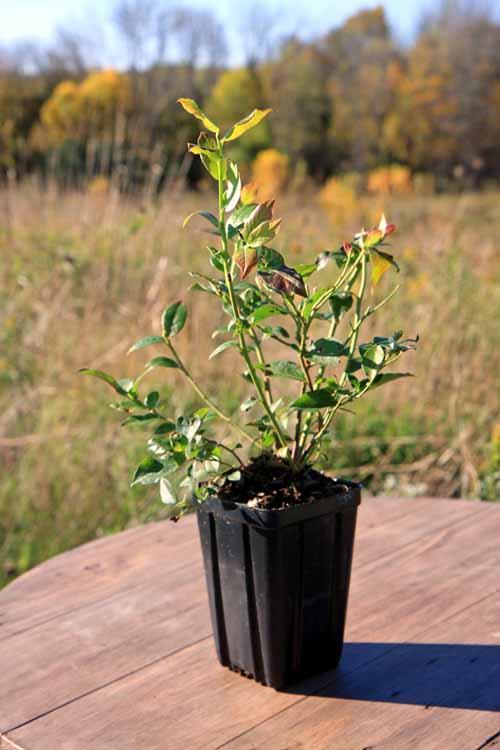 Potted Bluecrop Blueberry Bush