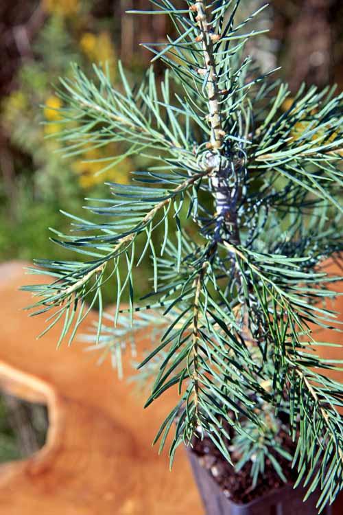 Fir Christmas Trees