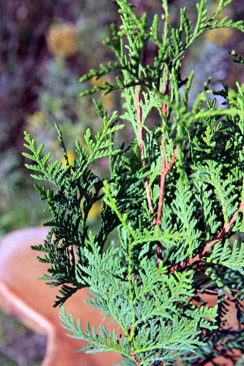Potted northern white cedar tree cedar northern white mightylinksfo Gallery