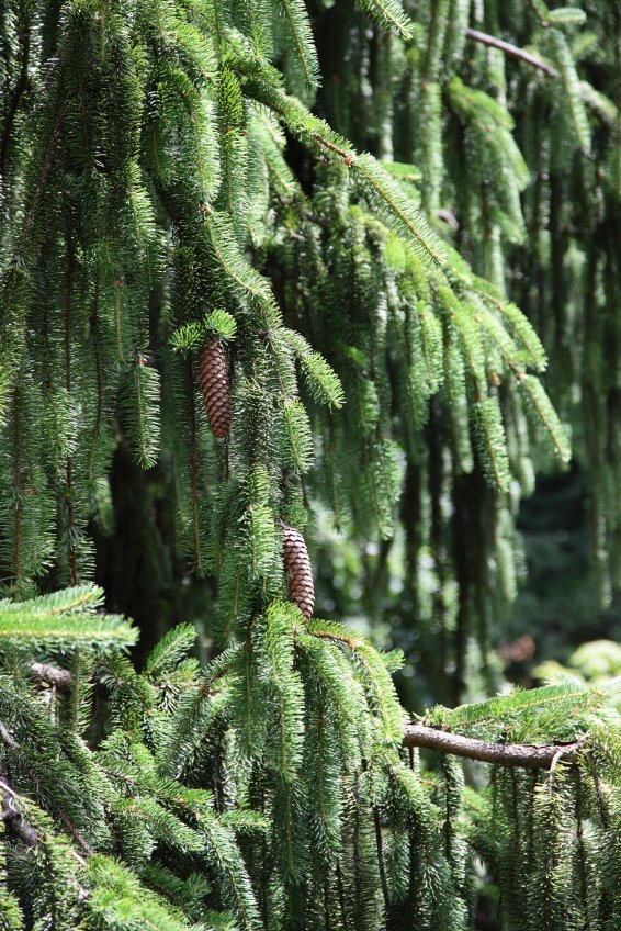 Potted Norway Spruce Tree Picea Abies