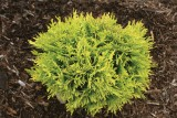 Arborvitae - Anna's Magic Ball®