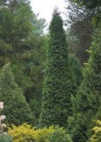 Arborvitae - North Pole®