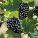 Blackberry - Natchez