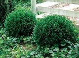 Boxwood - Chicagoland Green