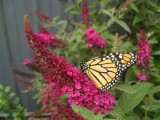 Butterfly Bush - 'Miss Molly'