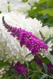 Butterfly Bush - 'Miss Ruby'