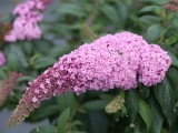 Butterfly Bush - 'Pugster® Pink'