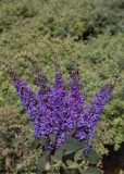 Butterfly Bush - Lo & Behold Blue Chip Jr.®