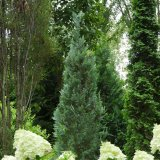 False Cypress - Pinpoint Blue