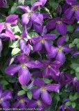 Clematis - 'Happy Jack'® Purple