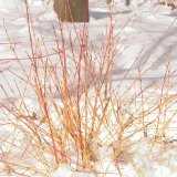 Arctic Sun® Dogwood Tree
