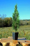 Emerald Green Potted Arborvitae
