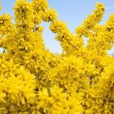 Forsythia - Show Off®