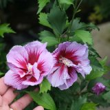 Rose of Sharon - 'Purple Pillar'®