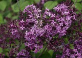 Lilac - 'Bloomerang®' Dark Purple