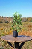Cedar Potted Tree - Northern White