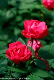 Rose - OSO Easy® - Double Red