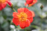 OSO Easy® Hot Paprika Rose