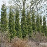 Arborvitae - Full Speed A Hedge®