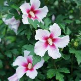 Rose of Sharon - 'Paraplu Pink Ink®