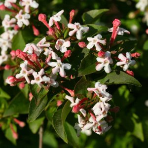 Abelia Sweet Emotion - Up Close