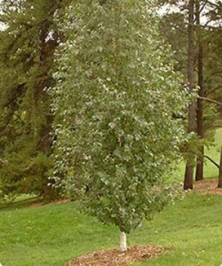 Dakota Pinnacle® Birch Tree