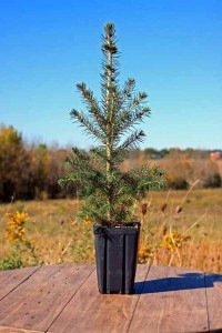 Black Hills - Potted Spruce Tree