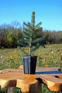 Colorado Blue Potted Spruce