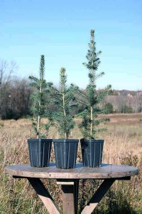White Potted Spruce